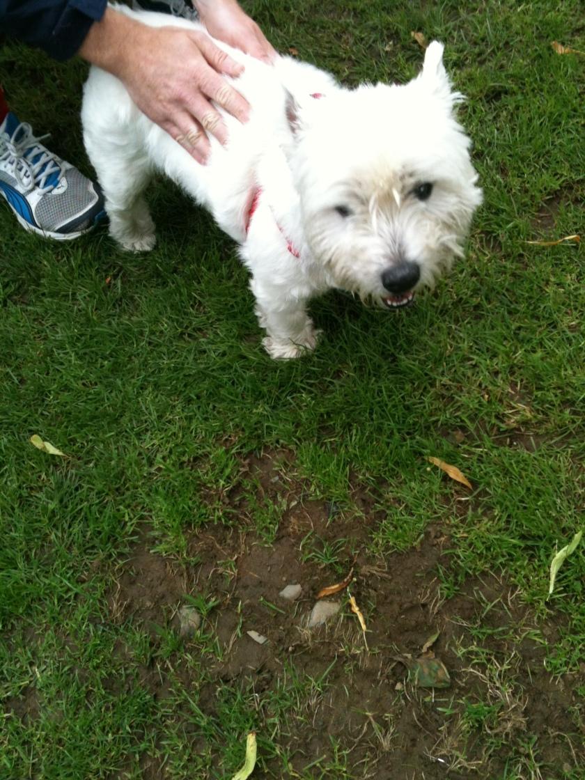 Jake, west highland terrier