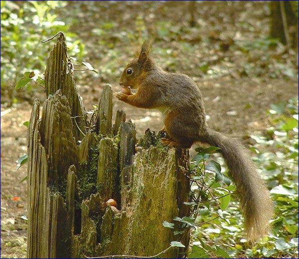 belvoir squirrel