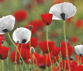 image from: http://www.ppu.org.uk/whitepoppy/index.html